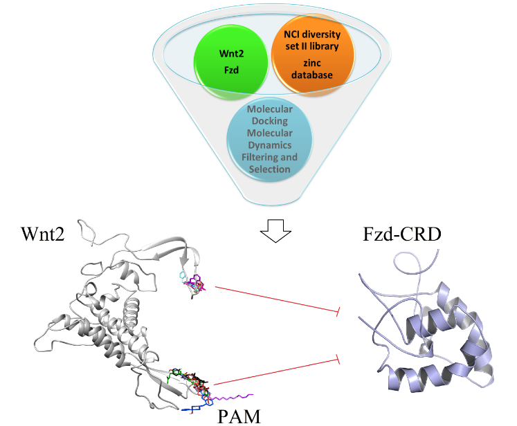 Novel Small Molecules against Two Binding Sites of Wnt2 Protein as potential Drug Candidates for Colorectal Cancer: A Structure Based Virtual Screening Approach